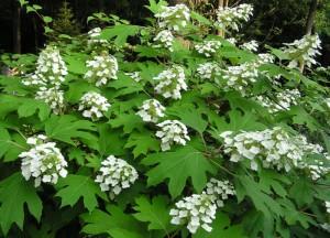 Flowering shrub list dammanns hydrangea quercifolia alice oakleaf dammanns mightylinksfo