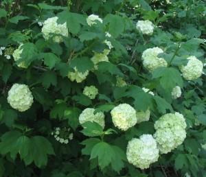Flowering shrub list dammanns viburnumopuluseastern snowball mightylinksfo