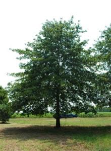 Shade Tree List Dammanns