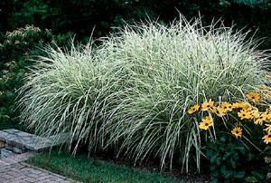 Ornamental Grass List Dammanns