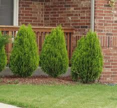Evergreen Shrub List   Dammanns