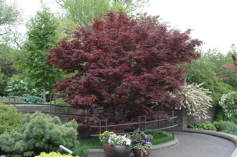 Bloodgood Anese Maple Ornamental Tree List Dammanns