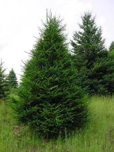 Conifer List Dammanns