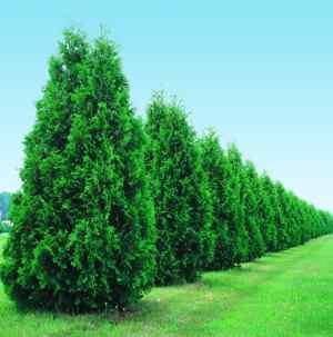 Evergreen Tree List Dammanns