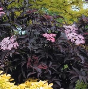 Flowering shrub list dammanns black beauty elderberry mightylinksfo