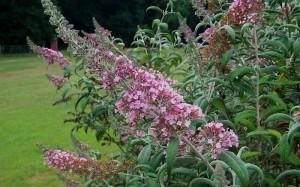 Pink Delight Erfly Bush