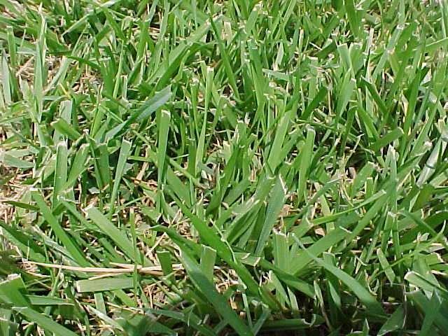 Grass Seed   Dammanns