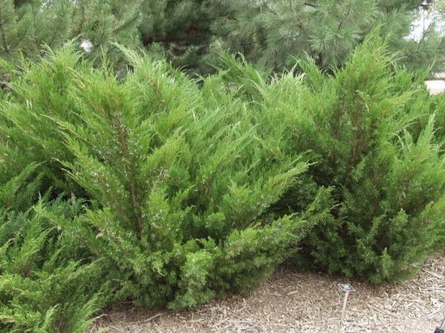 Evergreen shrub list dammanns for Tall evergreen shrubs