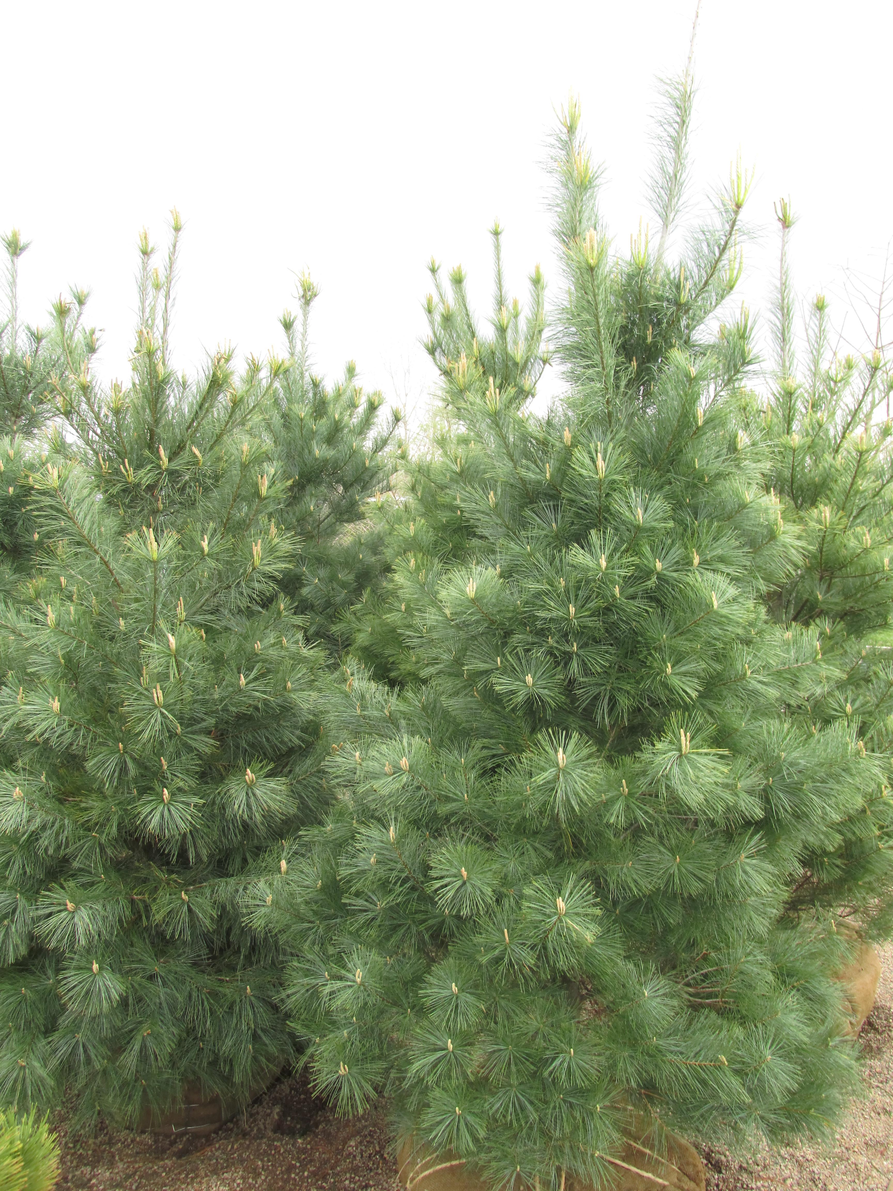 Conifer list dammanns for The evergreen