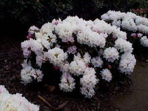 Flowering shrub list dammanns deta 417 mightylinksfo Image collections