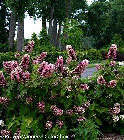 Flowering shrub list dammanns gatsby pink hydrangea main mightylinksfo