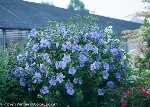 blue_chiffon_hibiscus 3