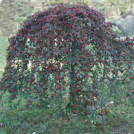 Ornamental Tree List Dammanns