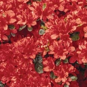 Flowering Shrub List